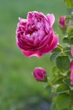 Pink rose in garden Stock Photos