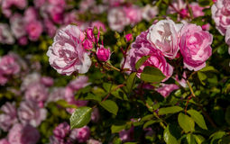 Pink rose garden. Shallow focus on a garden of pink shrub roses Stock Image