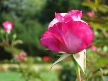 Pink Rose background - Stock Photos Stock Photo