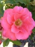 Pink rose. Rose Gardens, Heather Farm Park, Walnut Creek, California Royalty Free Stock Images