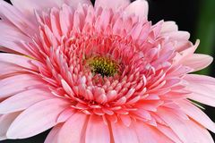 Pink Rose Gerbera Detail Macro royalty free stock photography