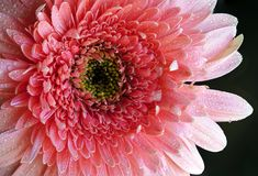 Pink Rose Gerbera Detail With Water Drops stock photo