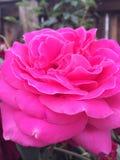 Pink rose. Giant pink rose Stock Image