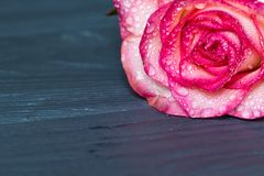 Pink rose with gradient, background, macro, on the wooden grey table. Pink rose with gradient, background, macro, wooden grey table stock image