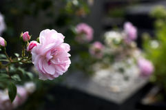 Pink rose on grave Royalty Free Stock Photo