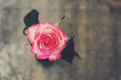 Pink rose on gray background Stock Image