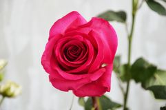 Pink rose on green background. Pink rose with green leaves on light background stock photos