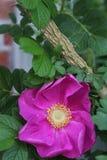 The pink wild rose up close royalty free stock photos