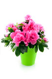 Pink rose in green bucket. Isolated on white background royalty free stock photography