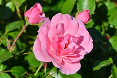 Pink rose. On green leaves background Stock Images