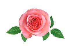 Pink rose with green leaves isolated on white royalty free stock photos