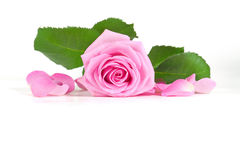 Pink rose with green leaves Stock Photo