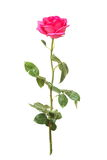 Pink rose with green leaves on a white background Stock Photos