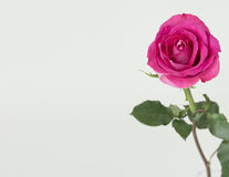 Pink rose with green stem. Dark pink garden rose on the right side of the image. light color background. Rose is open and the image has good open white space on Stock Photo