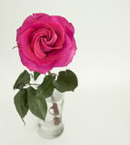 Pink rose with green stem in glass vase. Dark pink garden rose that has almost two colors in it close to the left side of the image. light color background. Rose Stock Photo