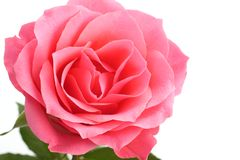 Pink rose with the green stem isolated on white background.  Royalty Free Stock Photos