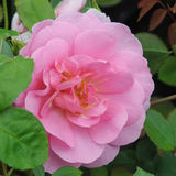 PINK ROSE. GROWING IN AN ENGLISH COUNTRY GARDEN Stock Image