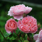 PINK ROSE. GROWING IN AN ENGLISH COUNTRY GARDEN Stock Photo
