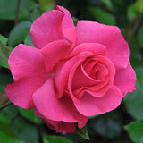 PINK ROSE. GROWING IN AN ENGLISH COUNTRY GARDEN Stock Photography