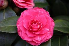 Pink rose is growing on a plant in nieuwerkerk aan den IJssel in. The Netherlands Royalty Free Stock Images