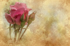 Pink rose grunge texture stock images