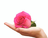 Pink rose with hands Royalty Free Stock Photo