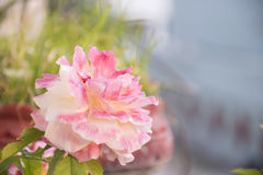 Pink Rose. This rose for Happiness and Sign of Love Stock Images