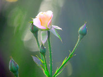 Pink rose flower. HD bluring Pink rose flower green royalty free stock photography