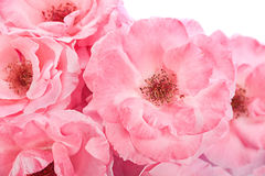 Pink rose head Royalty Free Stock Photo