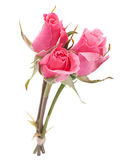 Pink rose head Stock Photography