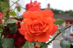 Pink rose head  Royalty Free Stock Image