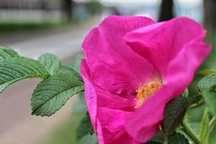 Pink rose hip on the background of the city Park royalty free stock photography