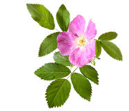 Pink Rose hip flower Royalty Free Stock Image