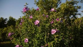 Pink rose hip flower on a bush in spring. Blooming wild rose hip in a nature. Briar, wild rose, dog rose. Flowers for stock video