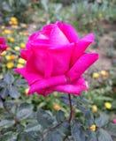 Pink Rose Hybrid stock image
