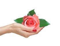 Pink rose i kvinnahand royaltyfri bild
