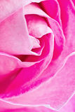 Pink rose III Stock Photo