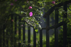 Pink rose with iron fence. Pink roses climbing on the iron fence Royalty Free Stock Photos