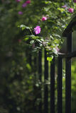 Pink rose with iron fence. Pink roses climbing on the iron fence Royalty Free Stock Photo