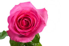Pink rose isolated Stock Photo