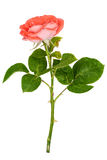 Pink rose isolated Stock Photos