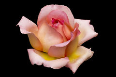 Pink Rose. Isolated on black background Royalty Free Stock Images