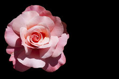 Pink rose isolated on black Stock Photo