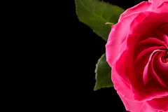 Pink rose isolated on black Royalty Free Stock Image