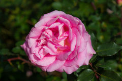 Pink rose isolated on bush in garden background Royalty Free Stock Images