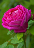 Pink rose isolated . Stock Photos