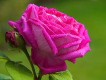 Pink rose isolated . Stock Image