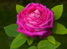 Pink rose isolated . Royalty Free Stock Photos