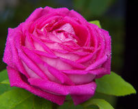 Pink rose isolated . Stock Photo