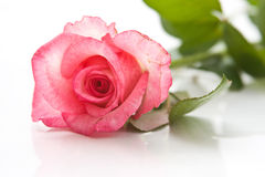 Free Pink Rose Isolated On White Background Stock Images - 10817424